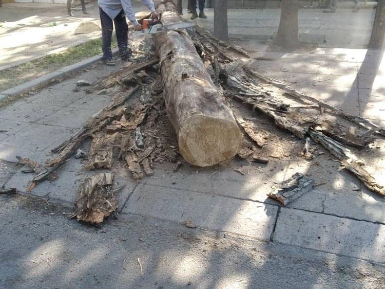 Бишкекте куурап, кооптуулук жараткан дарактар кыйылды