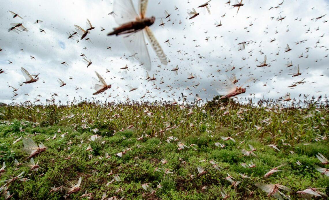 2020-жылы Кыргызстандагы эгин талаа жана жайыттарды чегиртке басышы мүмкүн